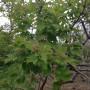 Gilaburu ağacı nisan ayı başları görüntüsü